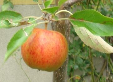 Æbledag på Kongsgaarden