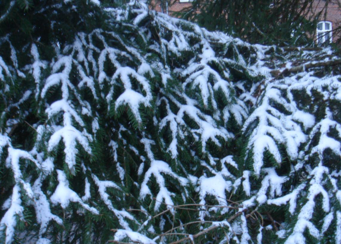 Fæld dit eget juletræ i weekenden