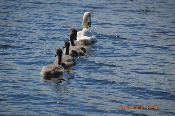 Svanesøen