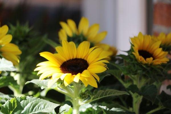 Sorø - kendt for blomster?