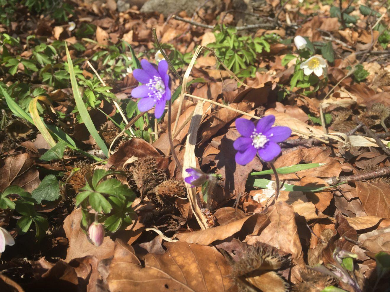 Find de blå anemoner