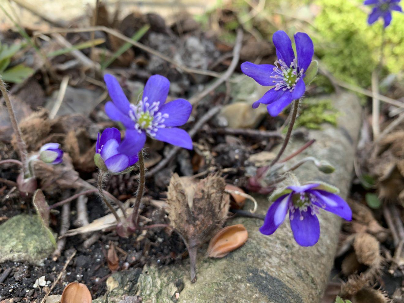 Alle anemonerne